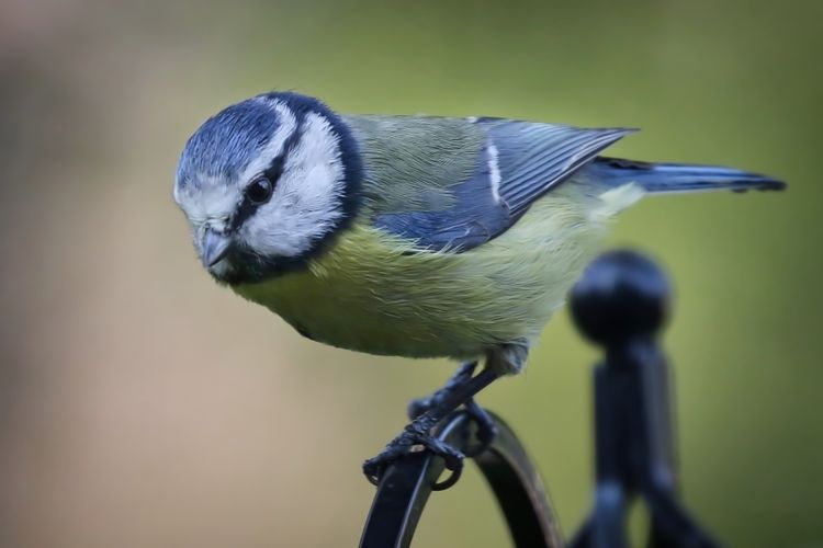 Close-up of bluetit perching on fence