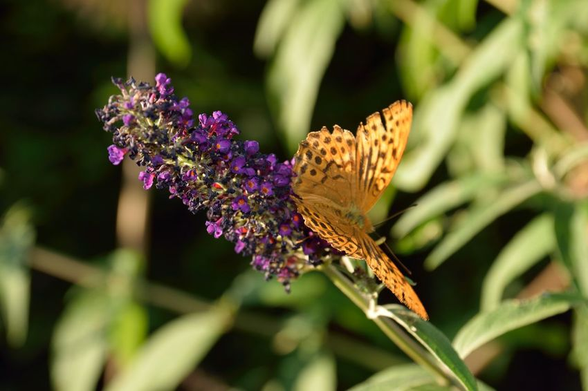 Argynnis Paphia Buddleja Davidii Silver-washed Fritillary Animal Wildlife Animals In The Wild Beauty In Nature Butterfly Butterfly - Insect Butterfly Macro Close-up Flower Flower Head Insect Invertebrate Macro No People Petal Pollination Purple Summer Lilac Wings