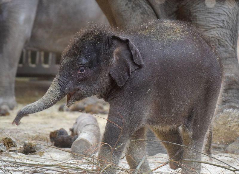 baby elephant Elephant Elephantlove Elephantears Elephantlover Elephant Prilaga Elephants Beautifull Strong Baby Elephant Baby Elephants Playjng
