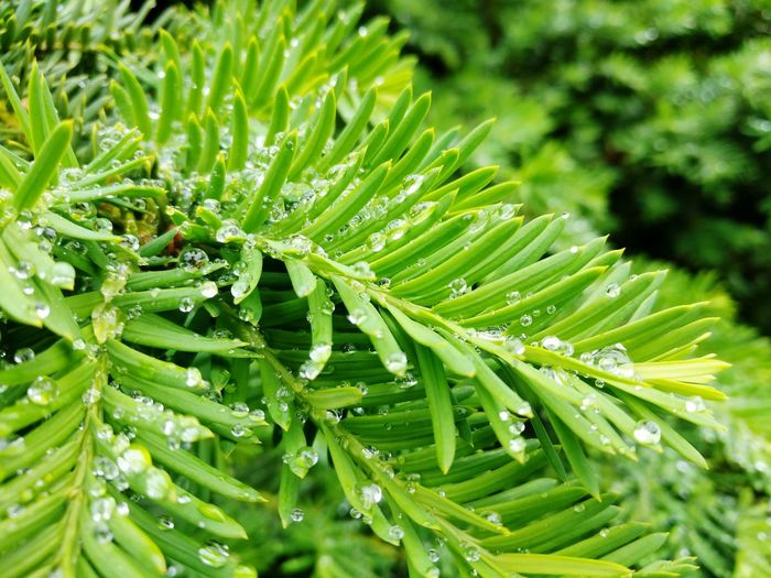 Pine Needles Needle Leafs Evergreen Water Droplets Spring Summer Rain Weather Climate Lush Green Foliage Water Leaf Drop Sunlight Flower Wet Close-up Needle - Plant Part Flora Rainfall Shrub Greenery Plant Life RainDrop Focus Dew Botanical