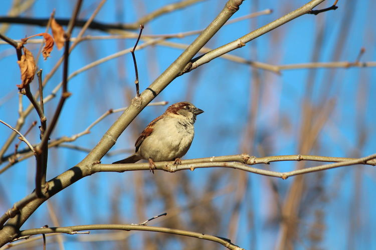 Bird Vertebrate Perching Animal Animal Themes Animal Wildlife Animals In The Wild One Animal Focus On Foreground Branch Tree Sparrow Plant Day No People Nature Bare Tree Low Angle View Close-up Outdoors