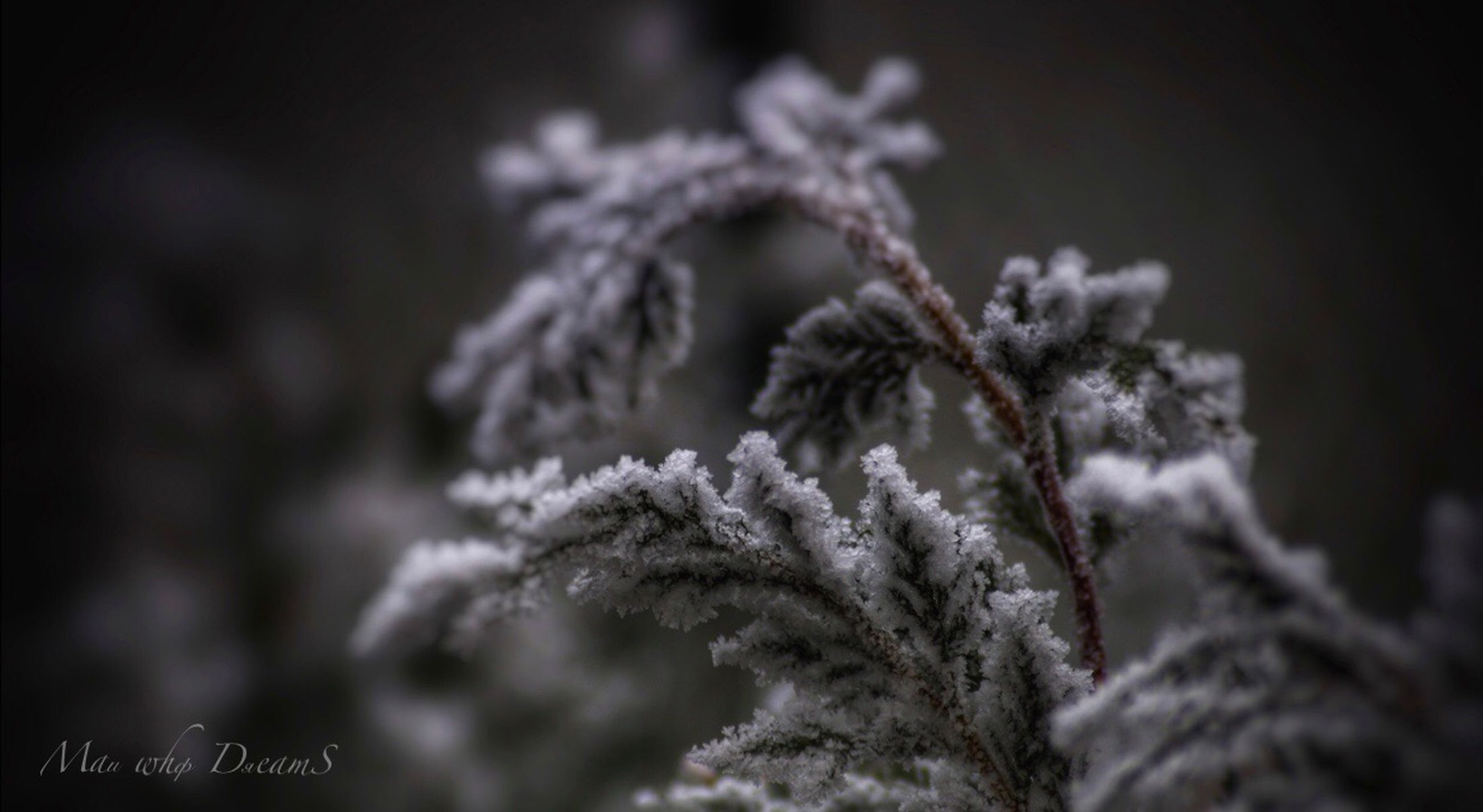 plant, close-up, no people, focus on foreground, growth, selective focus, cold temperature, nature, winter, beauty in nature, day, frozen, snow, outdoors, tranquility, frost, tree, ice, vulnerability, pine tree, fir tree