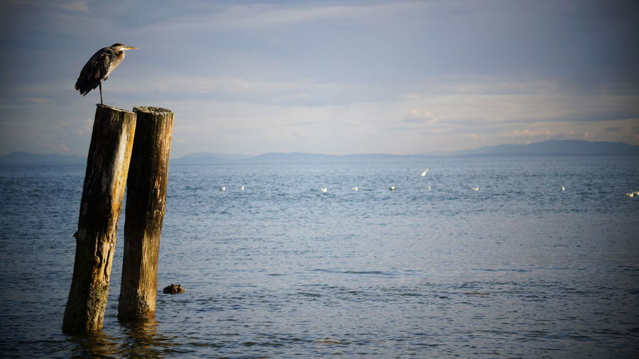 Seagull perching on wooden post in sea
