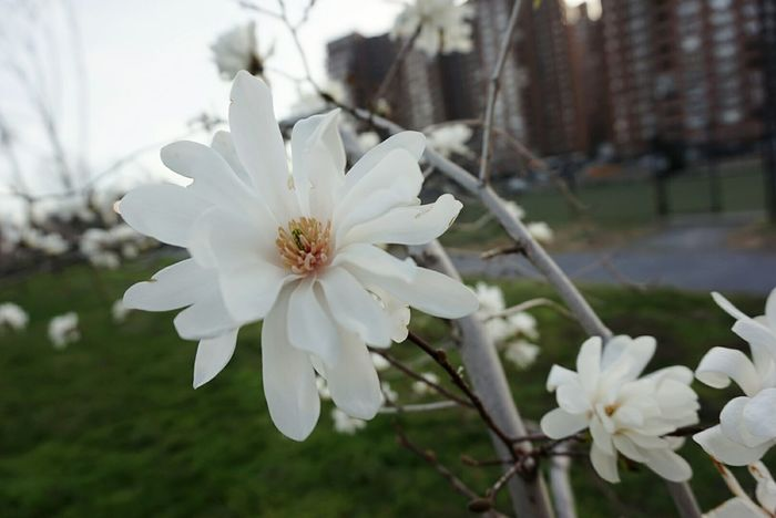 Flower Blossom Tree_collection  Springtime Beauty In Nature No People White Color Outdoor Photography Flower Petal Close-up Blossom Branch Focus On Foreground Unedited Magnolia Magnolia_Blossom NYC Parks The Great Outdoors - 2017 EyeEm Awards Stories From The City