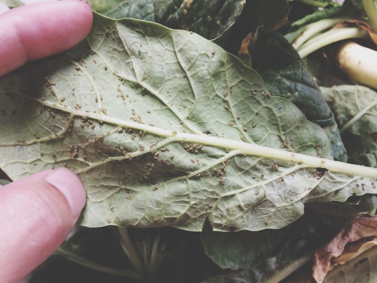 human hand, human body part, human finger, leaf, one person, holding, unrecognizable person, close-up, real people, outdoors, day, nature, food, freshness