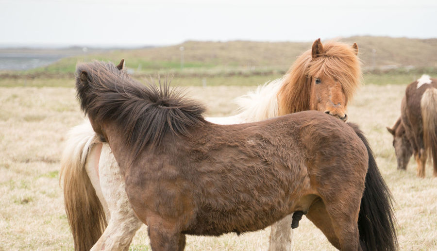 Iceland Iceland Memories Animal Themes Close-up Day Domestic Animals Field Focus On Foreground Horse Iceland Trip Iceland_collection Landscape Livestock Mammal Nature No People One Animal Outdoors Sky
