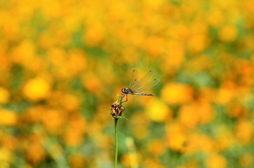 Dragonfly Focus On Foreground Close-up One Animal Beauty In Nature Outdoors Flowers Multi Colored Dragonflies Orange Flower Plants And Flowers Nature