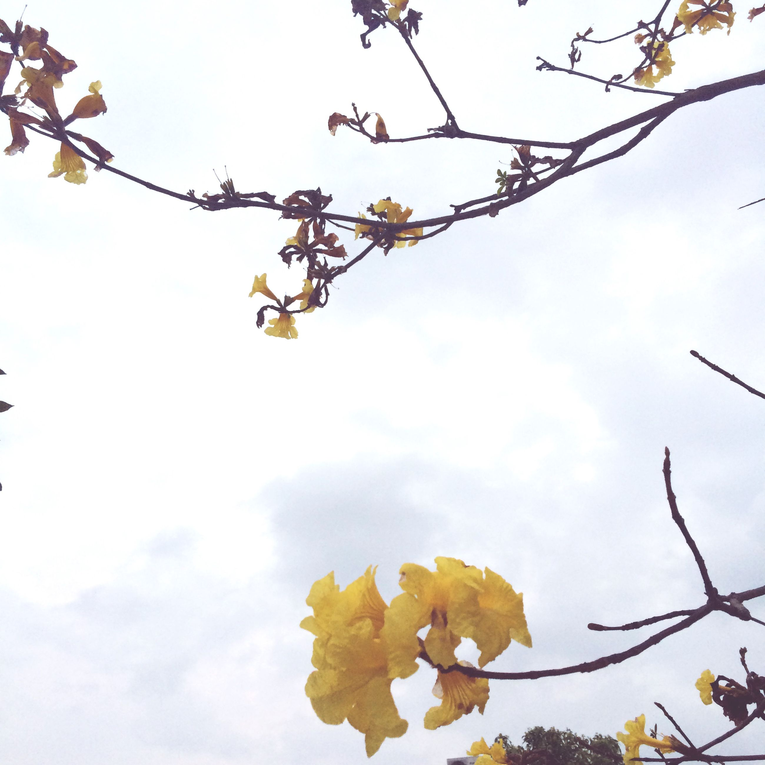 low angle view, branch, tree, sky, flower, growth, nature, yellow, leaf, freshness, beauty in nature, hanging, twig, clear sky, day, fragility, outdoors, no people, fruit, blossom