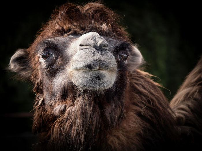 Mammal Lumix G9 Lumix G9xPanasonic Lumix DC Zoo Animal Animal Body Part Animal Hair Animal Nose Animal Themes Camel Focus On Foreground Hair No People One Animal Tierpark Zoo Animals