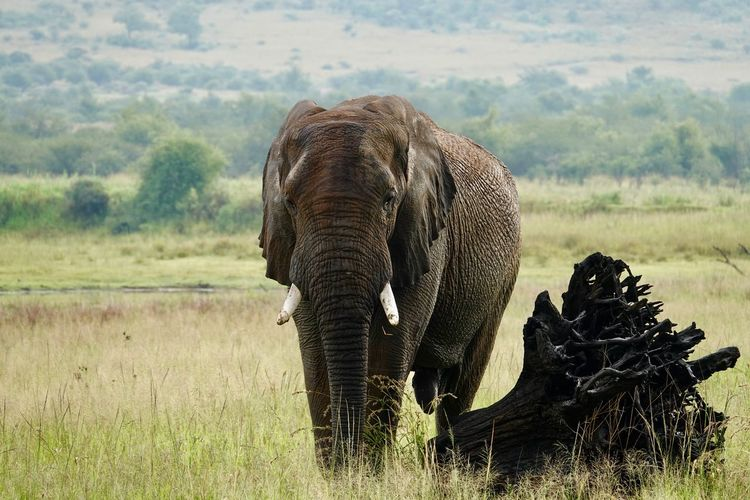 View of elephant on field