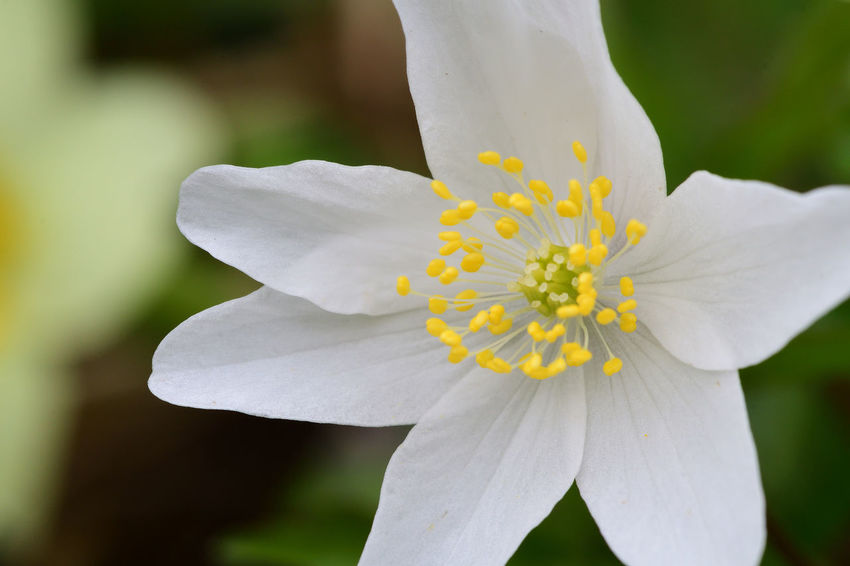 Check This Out EyeEm Best Shots EyeEm Nature Lover Freshness Growth Nature Taking Photos Wildflower Wood Anemone Beauty In Nature Blooming Close-up Day Flower Flower Head Focus On Foreground Fragility Macro Nature_collection No People Outdoors Selective Focus Spring Flowers Springtime White Background