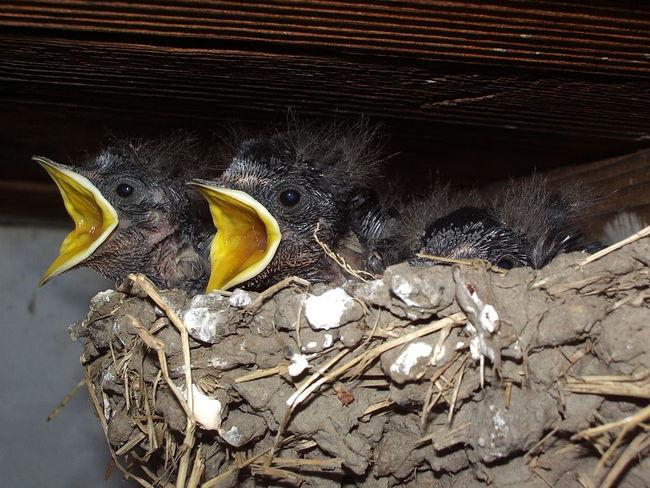 Animal Animal Body Part Animal Head  Birds Hungry Nest Nestlings Swallows