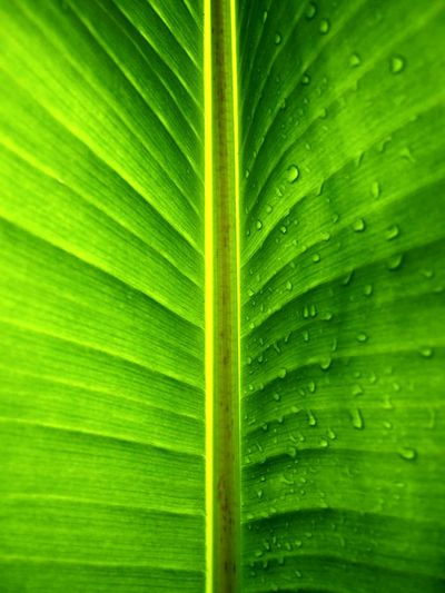 Green Color Close-up Leaf Nature Growth Full Frame No People Freshness Backgrounds Beauty In Nature Fragility Outdoors Frond Day EyeEmNewHere Kew Gardens Textured  Bigleafs Plant LoveNature Dew Drops Clorophilla