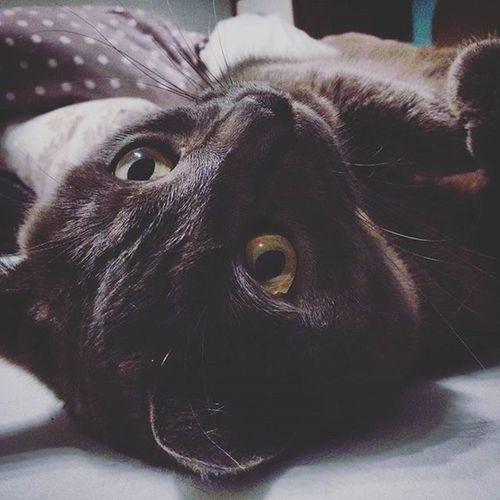 Cat Chill Relax Britisshorthair Kitty Lazy