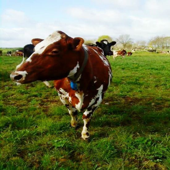 Domestic Animals Livestock Cow Grass Animal Themes Mammal Standing Brown Cloud - Sky Sky Day Nature Outdoors Landscape No People