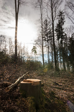 Stump of a tree and the sun in the middle of the forest Absence Bark Day Deforestation Environment Forest Land Nature No People Outdoors Plant Sky Sunlight Tranquil Scene Tranquility Tree Tree Trunk Trunk Wood Wood - Material WoodLand