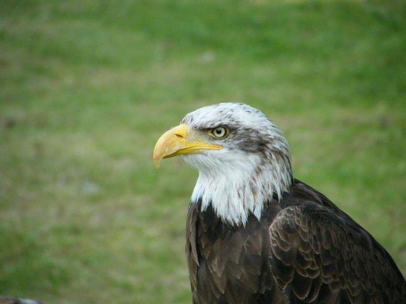 Eagle Animal Bird