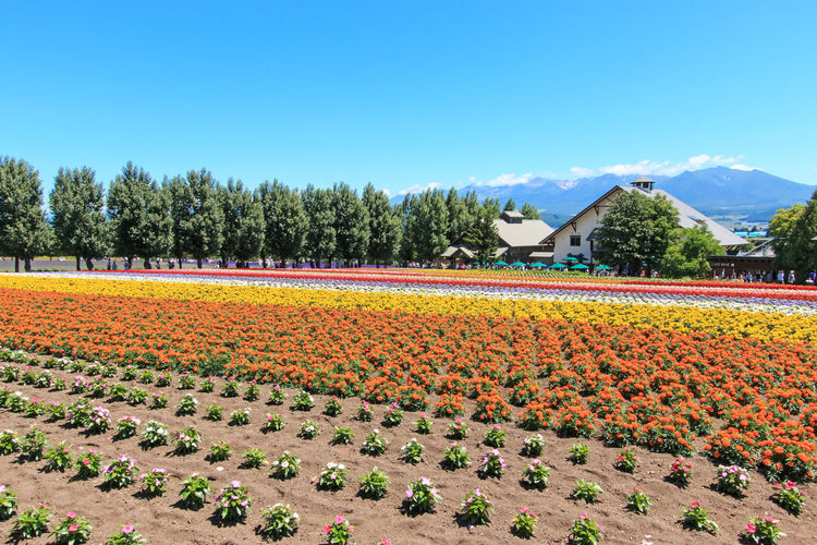 Furano, Japan - July 8,2015: flowers of the Tomita farm in Hokkaido with some tourists on background. Abundance Agriculture ASIA Beauty In Nature Biei Clear Sky Farm Field Flower Flowers Freshness Furano Growth Hokkaido In A Row Japan Otaru Rural Scene Scenics Spring Springtime Tranquil Scene Tranquility Travel Tree