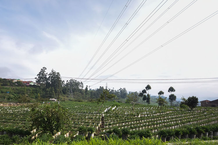 Strawberry Farm at Bandung, Indonesia Sky Landscape Field Plant Land Environment Cable Rural Scene Agriculture Scenics - Nature Tree Nature Cloud - Sky Growth Day Beauty In Nature Tranquility Tranquil Scene Crop  No People Electricity  Outdoors Plantation Power Supply
