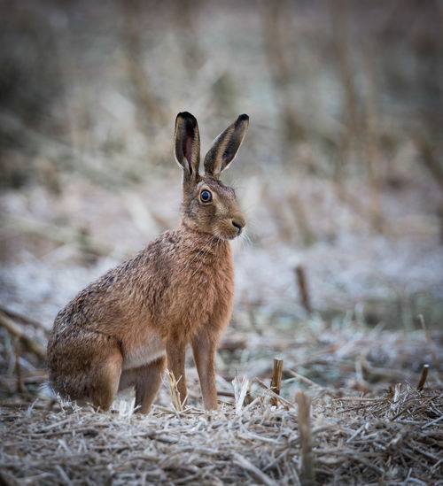 Brown hare relaxing on field