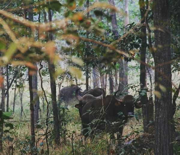 Jungle Tree Animals In The Wild Wooden Texture Bornfire Canon1200DPhotography Photography One Boy Only Outdoors Animal Wildlife My Photography Leaf Bison, Buffalo, Blackbirds, Wyoming, Wild, Animal, Horns, Fur, Raw,