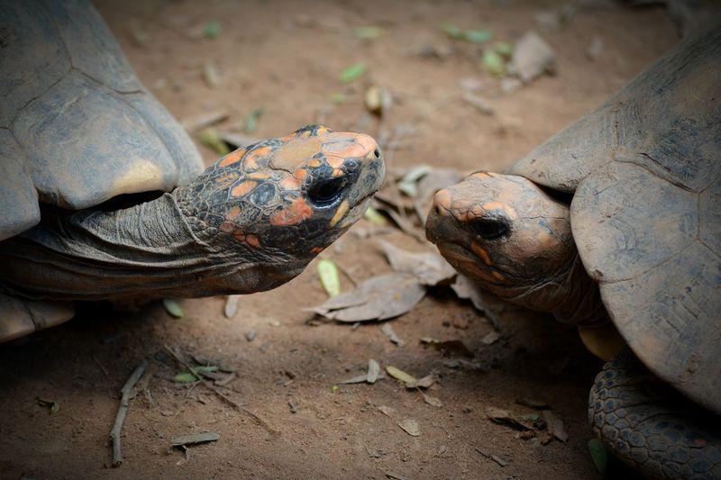 Animal Wildlife Animals In The Wild Animal Tortoise Animal Themes Nature Tortoise Shell Orange Color Beaut No People Couple