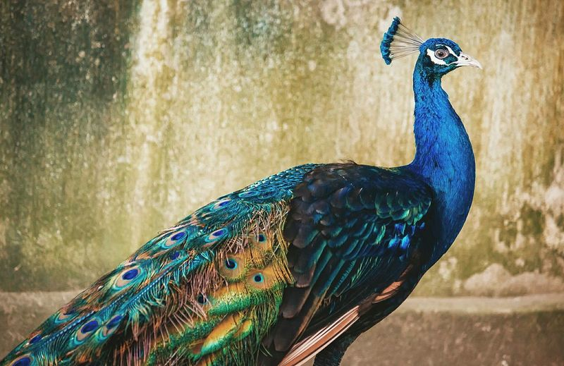 Close-up side view of a peacock
