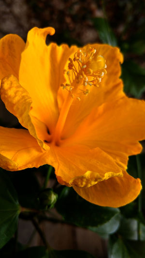 Trumpet Daffodil Beauty In Nature Blooming Blossom Botany Close-up Dutch Master Flower Flower Head Freshness In Bloom Macro Narcissus Narcissus Macro Nature Orange Color Petal Plant Pollen Spring Bulbs Spring Flowers Stamen Yellow Flower Photography Fine Art