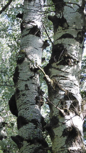birch trunk in the Lobau forest in the surroundings of Vienna Austria Tree Trunk Bark Beauty In Nature Birke Branch Close-up Day Forest Growth Low Angle View Nature No People Outdoors Rough Textured  Tranquility Tree Tree Trunk