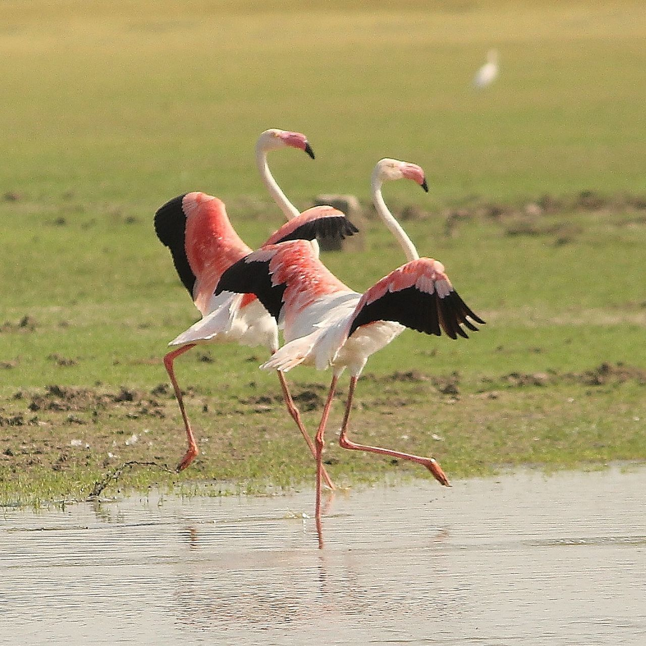 bird, animals in the wild, animal wildlife, nature, water, animal themes, no people, flamingo, stork, lake, beauty in nature, day, full length, outdoors