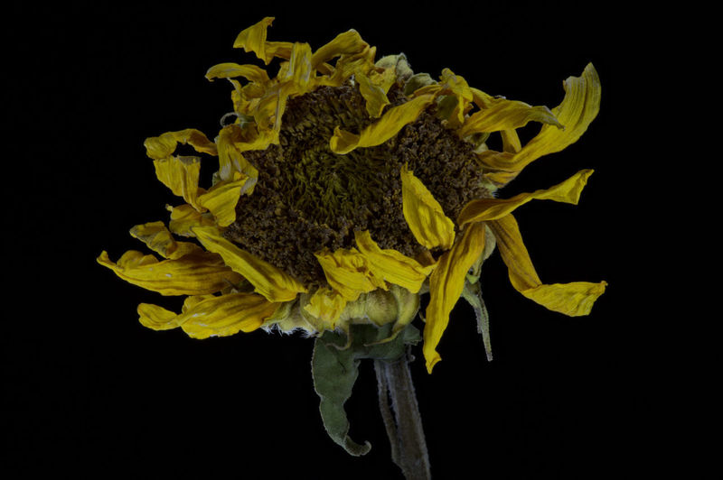 Discarded Beauty In Nature Black Background Discarded_butnot_forgotten Discared Flower Fragility Petal Yellow