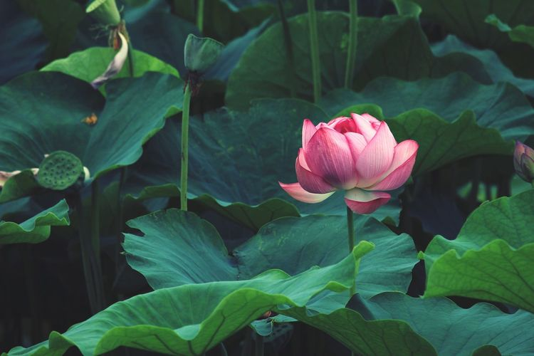 Close-up of pink lotus water lily