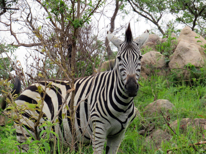 Zebra standing in a forest