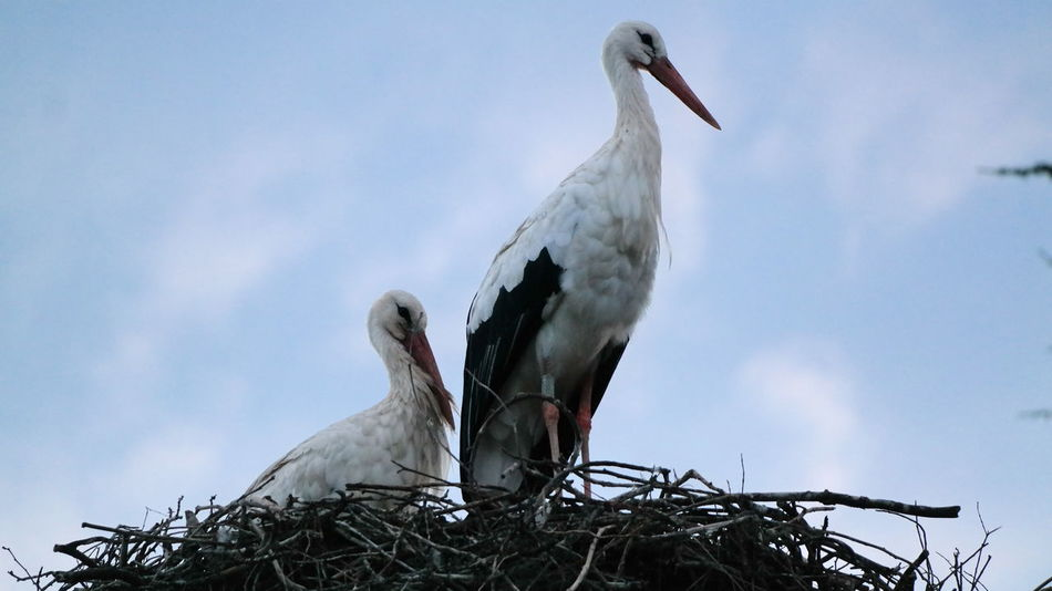 Animals In The Wild Beak Close-up Himmel Natur Nest Storchennest Stork Stork Nest Störche Wildlife Flying High
