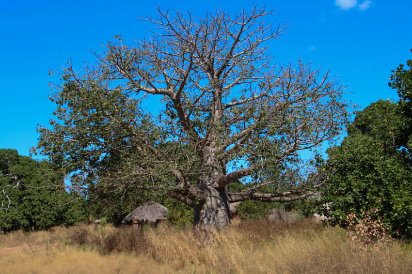 A large baobab tree near a mud hut with thatched roof Baobab Baobab Tree Beauty In Nature Blue Day Landscape Mud Hut Nature No People Outdoors Rural Scene Sky Thatched Roof Tree
