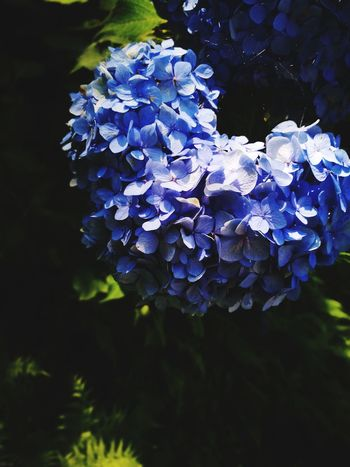 Purple Flower Hydrangea Plant Nature Bunch Beauty In Nature Outdoors Close-up No People Flower Head Fragility Day Freshness Beauty In Nature Nature Summer Grass Springtime Love In Nature