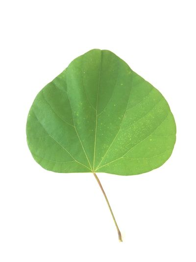 Topical ASIA Green Leaf White Background Cut Out Green Color Close-up Single Object Studio Shot Nature No People Freshness Day