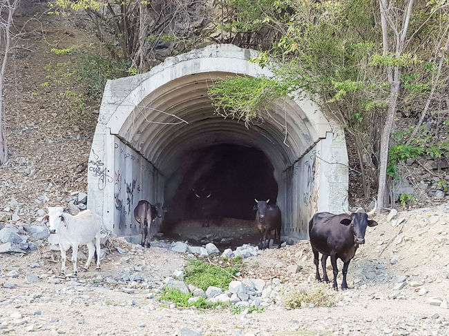 Cows in a tunnel Animal Animal Themes Arch Calm Down Cows In A Tunnel Cows!!! Cuba KuBa Mammal Road Closed Santiago De Cuba Standing Tunnel