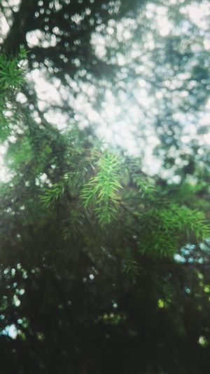 Tree Nature Forest Green Color Lush Foliage Beauty In Nature Branch No People Environment Outdoors Backgrounds Beauty Scenics Coniferous Tree Needle - Plant Part Day Close-up