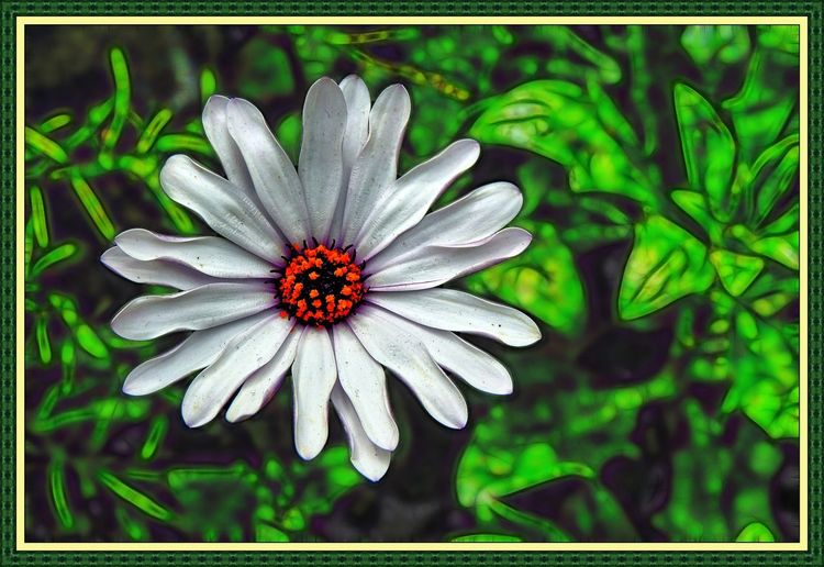White Aster Blooming Flower Glowing Background Nature Single Flower Spring Surreal White Aster