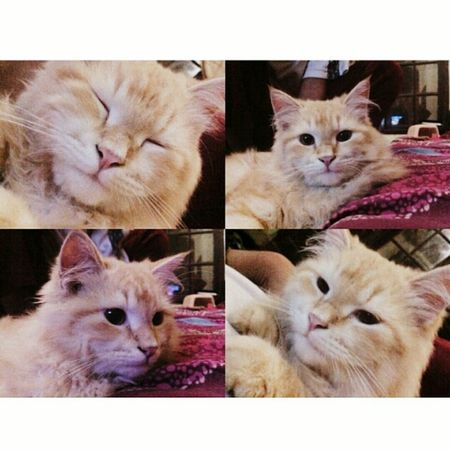 Cat Pets Pet Cat Lovers Catoftheday Caturday Cute Pets Cute Angoracat Angora