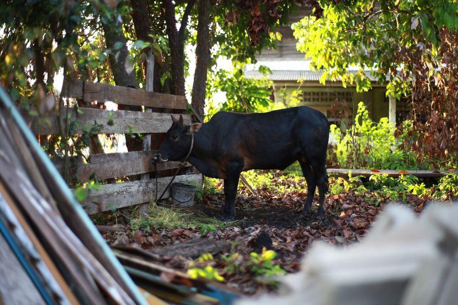 Cow Morning Light Black Color Qurban