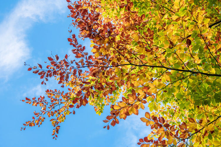 Lime Leaf Autumn Autumn Collection Beauty In Nature Blue Branch Change Day Fall Growth Leaf Leaves Lime Tree Low Angle View Maple Tree Natural Condition Nature No People Orange Color Outdoors Plant Plant Part Sky Tranquility Tree Autumn Mood