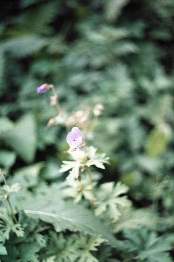 #35mm #Poland #analogue #film #ojcow #zenit Beauty In Nature Blooming Close-up Day Flower Flower Head Fragility Freshness Growth Nature No People Outdoors Petal Plant