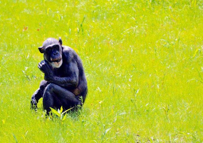 A chimp Animal Themes Mammal Green Color Animals In The Wild Primate Grass Sitting