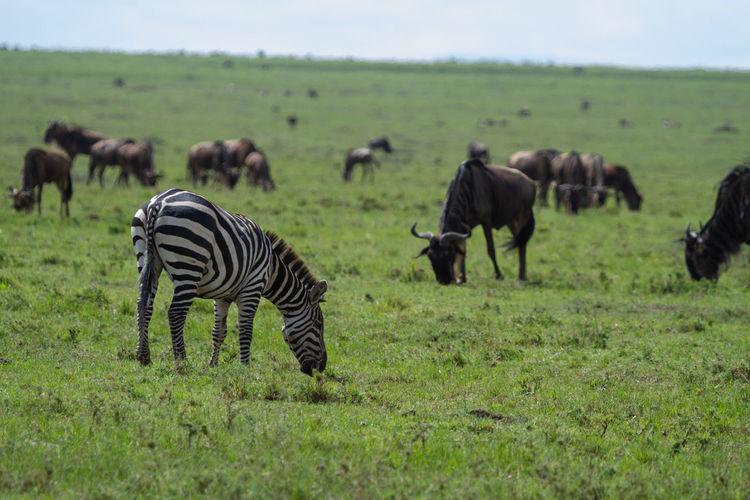 Zebra and wildebeest grazing in a green field on the maasai mara in kenya.