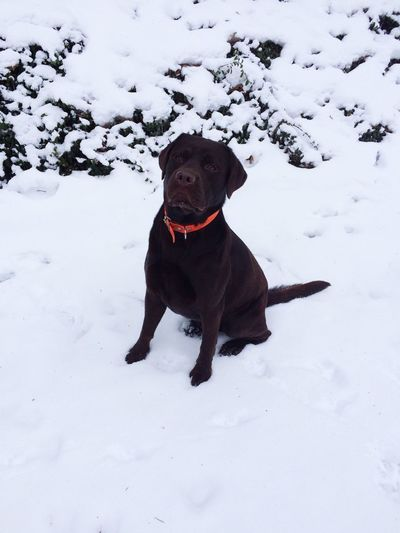 Labrador Chocolat Monamour