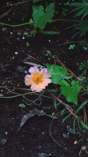 First Eyeem Photo Flower Mossrose