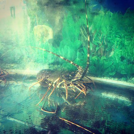 Lobster Lobsters