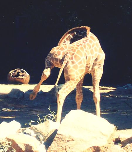 Giraffe FUNNY ANIMALS Awkward Moments Awkward Pictures. Awkward Giraffe